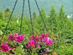 (Mahsa3611) Tags: flower green nature canon poem memory shiraz ايران باغ گل شاعر شیراز مهسا honarmand cmwdpurpleorpink حمیدمصدق mahsa3611 دلننگی