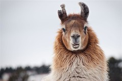 Llama portrait (Kartik J) Tags: llama july winner coloradosprings pikespeak woodlandpark sonyalphadslr sonyclick theunforgettablepictures