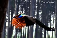 The Emperor takes to the Skies ! (pamma69) Tags: india bird nature wings nikon flight peacock punjab d90