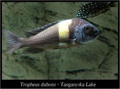 Tropheus duboisi_800_01 (Bruno Cortada) Tags: malawi marino mbunas cclidos sudafricanos tanganyica