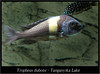 Tropheus duboisi_800_01 (Bruno Cortada) Tags: malawi marino mbunas cíclidos sudafricanos tanganyica