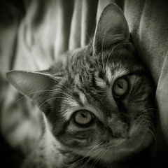 1004 (Christine Lebrasseur) Tags: portrait blackandwhite france eye art 6x6 animal cat canon 33 fr glance 500x500 tigrou saintsulpiceetcameyrac challengeyouwinner allrightsreservedchristinelebrasseur