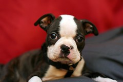 Zoe - our new baby ( Just me... ) Tags: boston puppy bostonterrier terrier