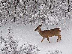 Deer in Shawnee Mission Park, 6 Feb 2010 (photography.by.ROEVER) Tags: park morning winter snow tower snowy deer kansas february lenexa 2010 shawneemissionpark observationtower countypark johnsoncounty kansascitymetro johnsoncountykansas kcmetro february2010