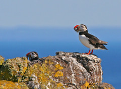 Isle of May Puffins (Charlotte Brett Photography) Tags: sea bird coast scotland fife puffin firthofforth isleofmay