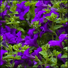 Happy week end (Pilar Azaa) Tags: color purple petunias prpura morado malva mywinners abigfave thesuperbmasterpiece 100commentgroup pilarazaa theoriginalgoldseal