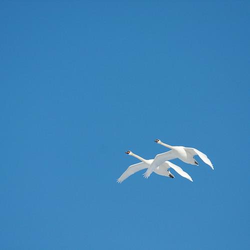 [フリー画像] 動物, 鳥類, カモ科, 白鳥・ハクチョウ, カップル (動物), 201006210100
