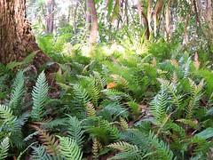 fern grove (YAZMDG (15,000 images)) Tags: trees green nature forest nsw ferns hinterland goonengerry nswrfp yazminamicheledegaye northernriversspecies