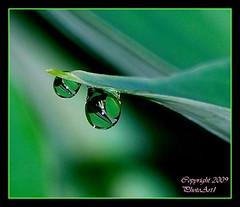 Dew Drops (PhotoArtOne) Tags: plants macro nature dewdrops refraction theemeraldsociety bestofmywinners