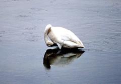 Swan.  Madison River.