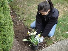 Joyce Plants Daffodils