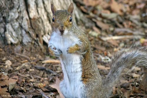 Eastern Gray Squirrel, Sciurus Carolinensis, Wiewiorka szara