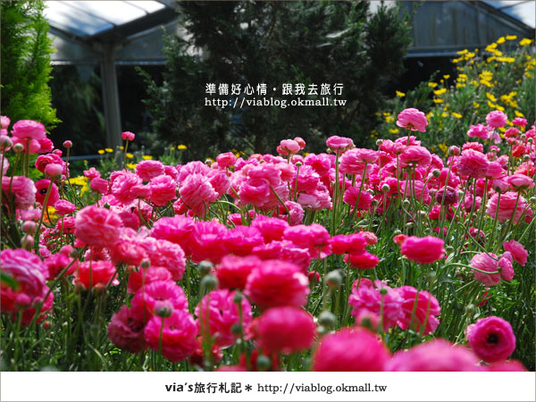 【梅峰農場】不止桃花美!梅峰農場賞花趣~(下)3