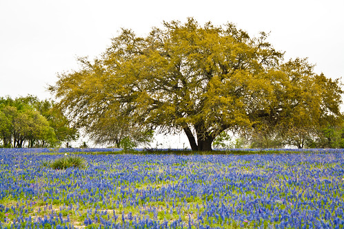 Tree In Field of Blue