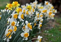 Here's Our Line-Up (BKHagar *Kim*) Tags: flower green nature yellow spring al blossom alabama line daffodil bloom bkhagar tanneral