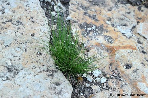 Nassella tenuissima seedling