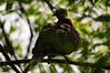 Oriental turtle dove (Rajib Singha) Tags: india bird nature interestingness nikon dove westbengal flickriver nikond300 sheoraphuli