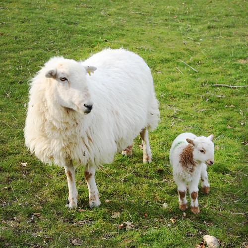 Ewe & lamb