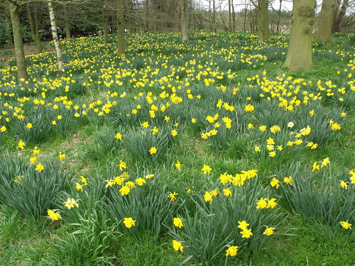 A field of wild daffodils on the church walk at Baddesley Clinton