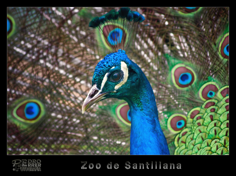Pavo real  - Zoo de Santillana