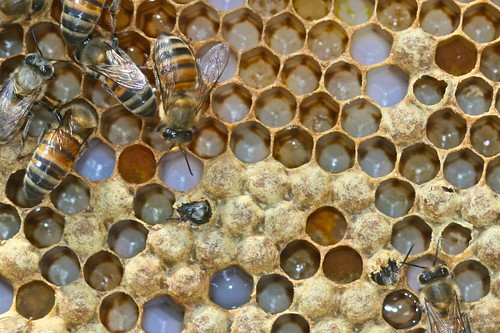 Brood with two new bees emerging