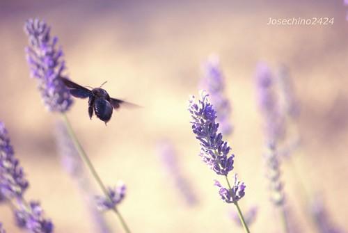 El vuelo del abejorro