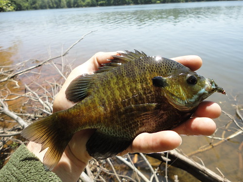 Palm Sized Bluegill
