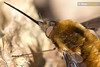 This Still Won't Hurt (Dom Greves) Tags: uk woodland insect march spring wildlife surrey invertebrate beefly bombyliidae