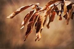 Remainder (jswigal) Tags: tree leaves dead warm park columbus ohio landscape intimate leaf brown sony alpha a6000 minolta rokkor 50mm