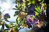 Clochettes (romain_castellani) Tags: d750 nikon c1 nikkor50mmf18 nice france parc jardin garden automne autumn parcphœnix parcphoenix 50mmf18af nature fleur flower plante plant flare lumière light côtedazur paca alpesmaritimes bokeh dof