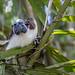 Geoffroy's tamarin monkey - wild titi monkeys gamboa panama pandemonio 2017 - 08