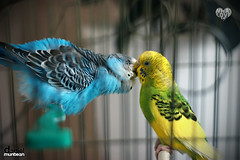 What Love Is. Scene 003. (Daniel Muntean) Tags: cute beautiful 50mm parrot lovely dm whatloveis