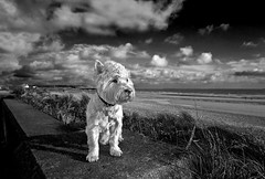 George at a wind swept North Ramsey Beach. Isle of Man. (IMAGES FROM MAN.) Tags: sea sky blackandwhite dog beach nature water clouds landscape mono coast george seaside nikon raw westie dramatic windy monotone seawall terrier d200 drama cloudscape isleofman manx cloudscapes westhighlandterrier sigma1020 monosepia artofimages ramseyisleofman raycollister