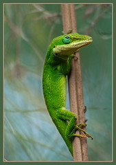 Anole (TT_MAC) Tags: maui lizard anole greenanole anoliscarolinensis goldwildlife