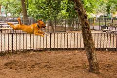 Superdog (toddwshaffer) Tags: dog flying jumping dogpark fetch thompkinssquare thompkinssquarepark toddshaffer thompkinssquaredogpark