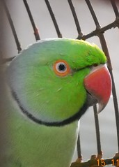 Parrot Eyes