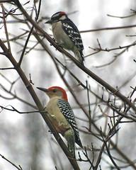 Downy & Red-Bellied Woodpeckers perching (wplynn) Tags: male woodpecker downywoodpecker indianapolis indiana redbelliedwoodpecker woodpeckers slb perching wildbirdsunlimited wbu secretlifeofbirds