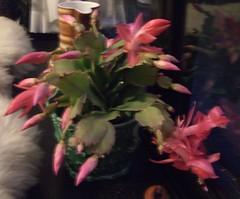 Xmus Cactus