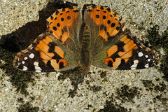 Painted Lady 034 (Amiable Nutter) Tags: paintedlady butterfliesinsects