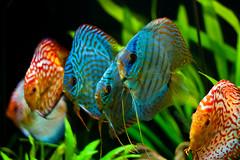 fishsoup (mwu73) Tags: blue red orange plants 6 fish black green rot colors animal animals aquarium tiere colorful group pflanzen fisch grn blau fishes schwarz farben gruppe fische diskus farbenprchtig canoneos400d diskusfisch marcoumgeher