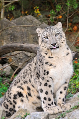 Posing and funny Villy (Tambako the Jaguar) Tags: wild cute male tongue cat zoo switzerland big nikon feline sitting zurich kitty posing fluffy zrich snowleopard d300 schneeleopard snowkitty uncia panthredesneiges vosplusbellesphotos