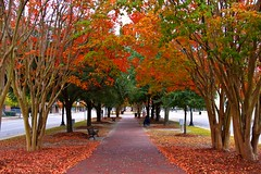 Autumn Whispers To The Falling Leaves (Mona Hura) Tags: street trees red orange tree green fall leaves yellow bench leaf downtown whisper falling sidewalk hues crepe myrtle colored whispers hue crepemyrtle autums 6954d