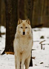 Arctic Wolf (RickyNJ) Tags: nature wolf wildlife nj company jersey preserve lakota virgilio vosplusbellesphotos wolflakota