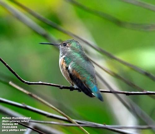 Rufous Hummingbird (Selasphorus rufus) >