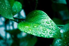 [フリー画像] [植物] [葉っぱ] [緑色/グリーン] [雫/水滴]       [フリー素材]