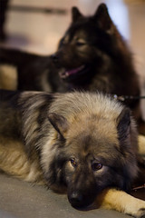 Eurasier Portrait (Alexander J.) Tags: portrait dog dogs animal animals hund ausstellung fellbach eurasier hundeausstellung 5dmk2 altekelter 10012010