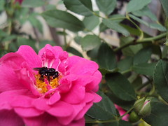 Pollination (Guillerm'o) Tags: pink flower nature rose garden insect sony bee paraguay polinization