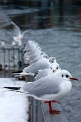 the queue (CC) (marfis75) Tags: sea bird birds see waiting dove seagull gull pigeons creative line cc queue creativecommons sit wait common vgel mwe taube vogel fliegen warten tauben sitzen creativecommon flieger seemwe ccbysa marfis75 marfis75onflickr