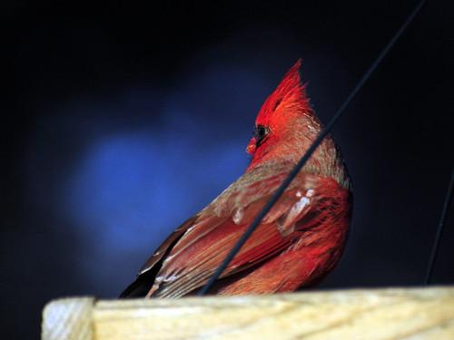 Cardinal Male Feeder