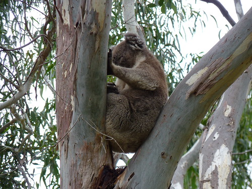 Tower Hill Koala